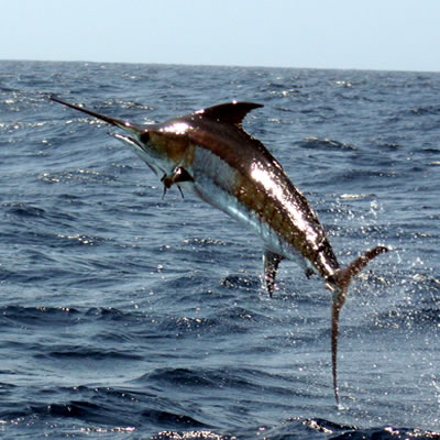 swordfish sri lanka